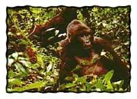 A gorilla in Uganda's Bwindi national park. (Marie Javins photo)