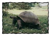 Giant Tortoises roam the Galapagos.