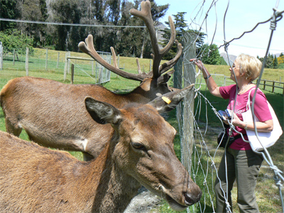 Deer at High Peak Farm, across the lake from Queenstown reached by steamship TSS Earnslaw. photo by Max Hartshorne