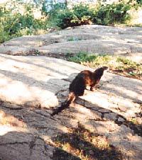 An otter on the Isle. photo: Dale Austin, mrwizard@umich.edu