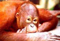 One of Sarawak's orangutans smiles for the camera.