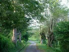Galang Trees.