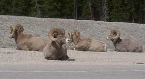 Mountain Sheep by the side of the road between the Colombia Icefields and Jasper - Photo by Habeeb Salloum