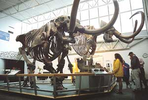 Gainesville is home to the Florida Museum of Natural History. Shown here are the skeletons of a mammoth and a mastodon.