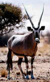 Oryx near Skeleton Coast