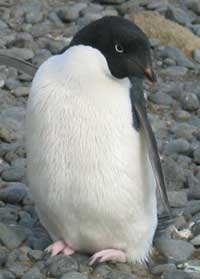 An Adelie penguin points Antarctic visitors in the right direction.
