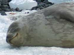 A gentle Weddell seal takes a nap.