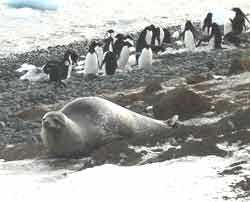 Adelie penguins socialize while a Weddell seal slides toward the ice.