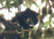 The rare and endangered Spectacled Bear is one of the many species of wildlife being monitored and conserved. Photo courtesy of Santa Lucia Cooperative