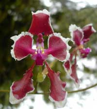 Some of the Cooperative's projects are aimed at monitoring and conserving the many varieties of orchids in the Cloud Forest. Photo by Caroline Michael