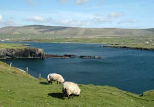 Sheep grazing on the Island of Valentia - photo by Christiane Bömke, Iveragh Tours