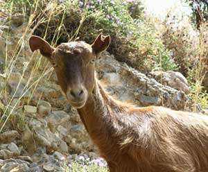 Inquisitive goats, like this one in Sfakion, are to be met throughout Crete.