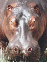A hippo in Uganda. Photos by Marie Javins