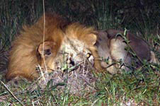 Lions can be seen occasionally.