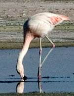 Flamingo in the National Reservoir Los Flamencos, inside the Atacama Salt Lake. photo by Paul Shoul.