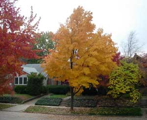 The author, a Californian, was surprised by the bright foliage in Illinois. Photo by Dominic Degrazier