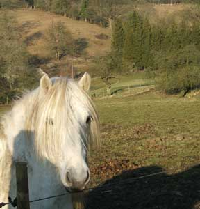 A Highland pony in the Cotswolds.