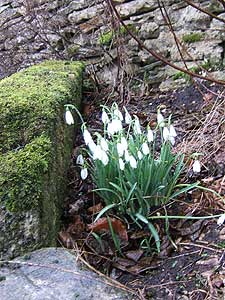 Galanthus (snowdrops) blooming on mossy stone wall means spring in the Cotswolds.