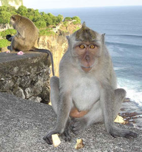 Monkeys Relax in Ulawatu, Bali