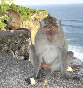 Monkeys Relax in Ulawatu, Bali