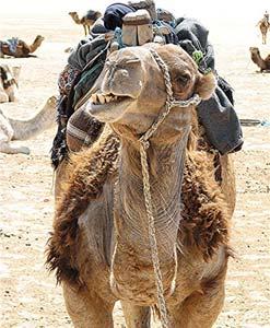 A camel in Tunisia
