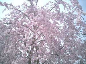 The cherry trees usually blossom at the end of March.