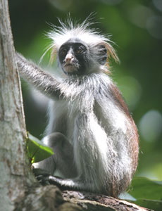 A young red colobus monkey