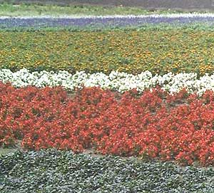 Flowers bloom from May to October in Furan