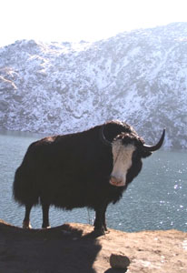 A yak at Lake Changu