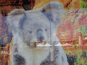 A koala in the window