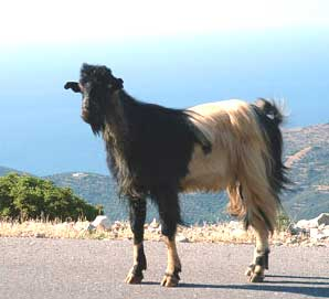 A mountain goat