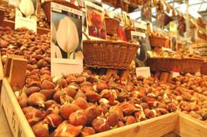 Tulip bulbs at Amsterdam's  Bloemenmarkt