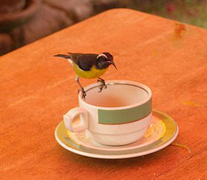 The bananaquit, or sugar bird, is small and courageous.