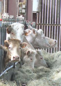 Charolais cattle in the Ferme Auberge de Bazoches