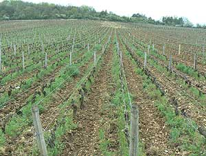 The most famous vines in the world -- these are the grapes that make Romanee Conti, which sells for a mere $1000 per bottle, if you can find it.