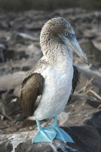 A bluefooted booby
