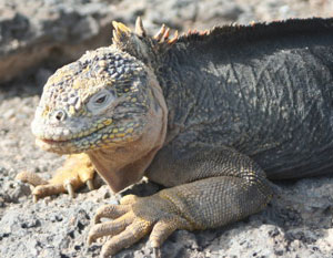 A marine iguana soaking up the sun