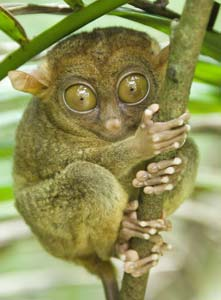The world's smallest primate, the tarsier is rumored to be the inspiration for Steven Spielberg's 'E.T.'