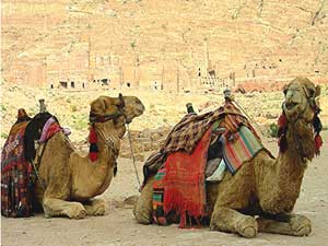 Camels relaxing at Petra.