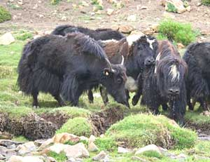 A visit from the yaks
