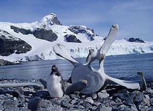 A penguin guards a whale bone. Photos by Bruce Northam