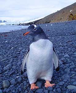A curious Gentoo penguin