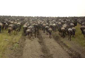 Wildebeest in the road