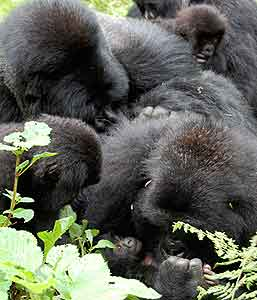 A gorilla family with their new baby