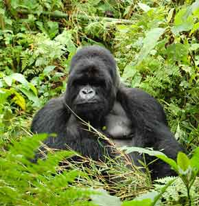 Rwanda's Magnificent Mountain Gorillas