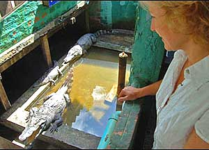 Live alligators at the Dead Fish Tower restaurant