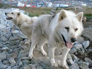 In Greenland, sled dogs are being replaced by ATVS.
