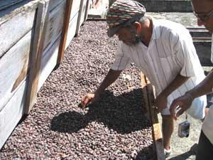 Sifting cocoa pods on a plantation
