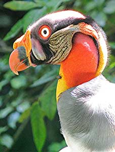 A King Vulture in Panama