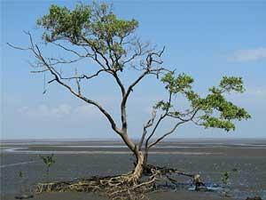 Walkabout tree, Panama